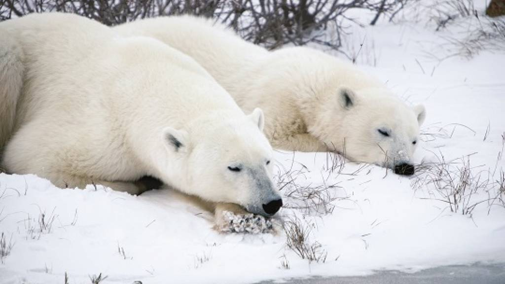 polar bears sleeping