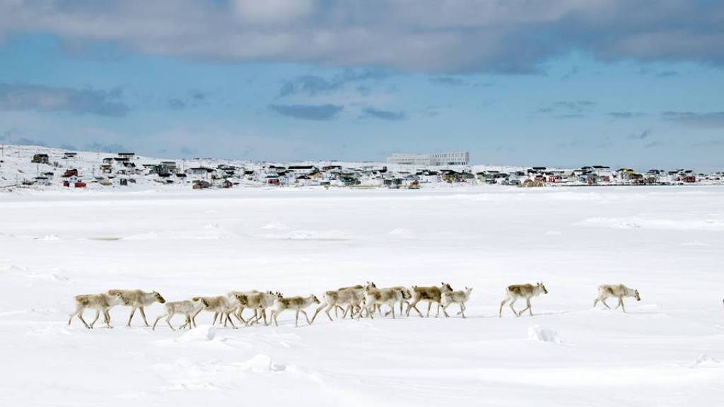 Caribou in winter